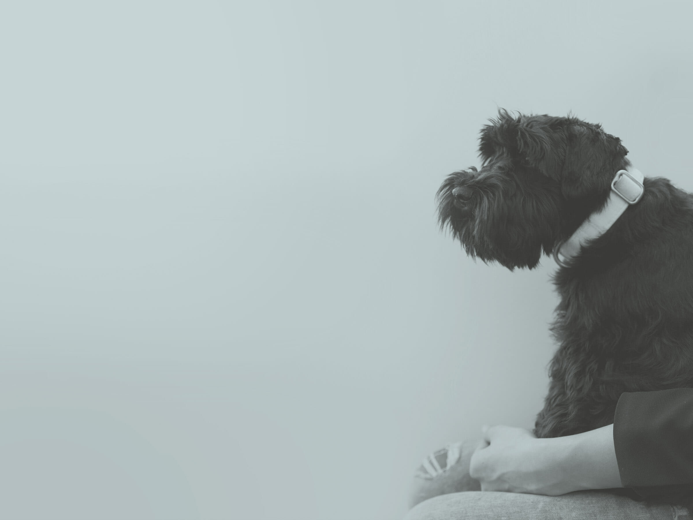 Unser Büro Hund, die Schnauzer-Dame Lani